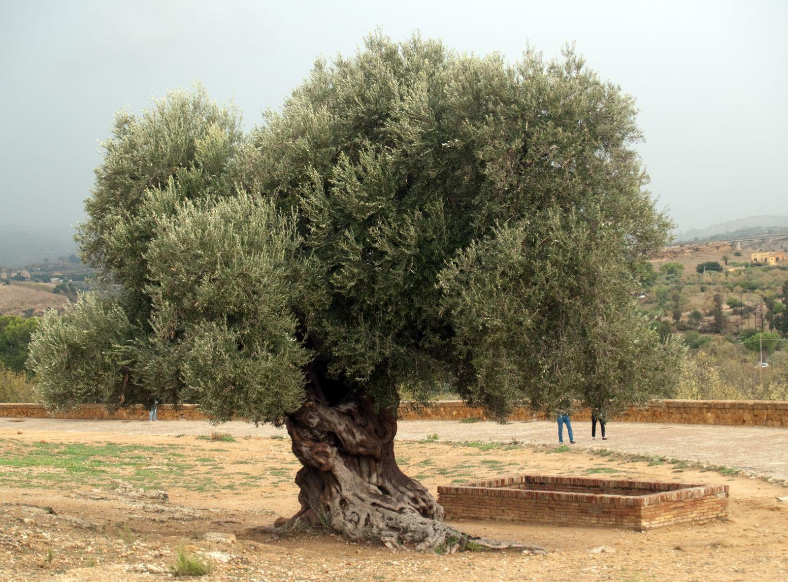 Image D Olivier l'olivier